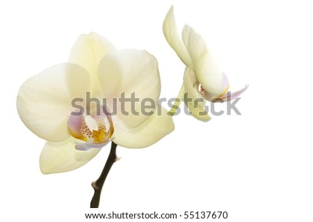 Beautiful light yellow orchids, exclusive color, phalaenopsis flowers isolated on white - stock photo