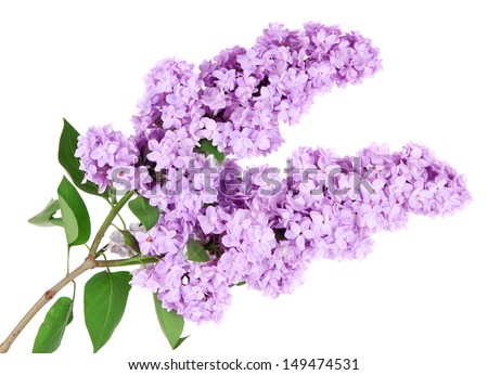 Lilac Flower Clip Art Beautiful lilac flowers