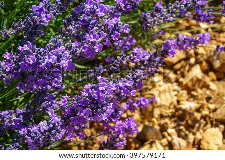 Beautiful  lilac flowers of the lavender on red soil from Provence, France. Fine aroma and health. - stock photo