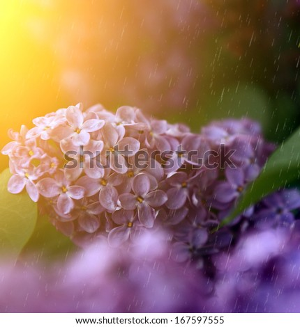 Beautiful lilac in summer / spring rain - stock photo
