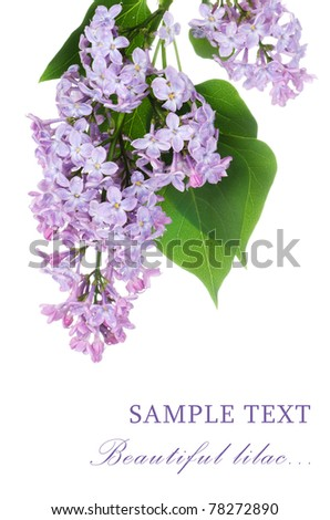 Beautiful lilac isolated on white background - stock photo