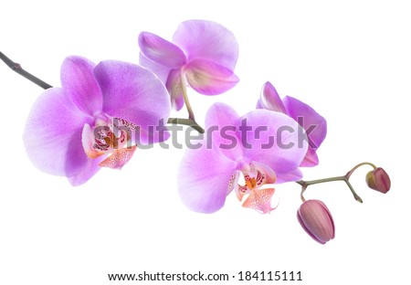 beautiful lilac orchid is isolated on white, closeup