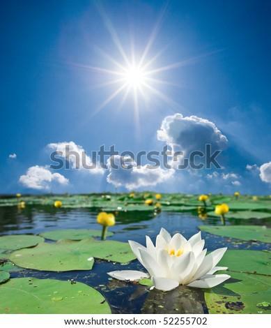 beautiful lilies on a lake - stock photo
