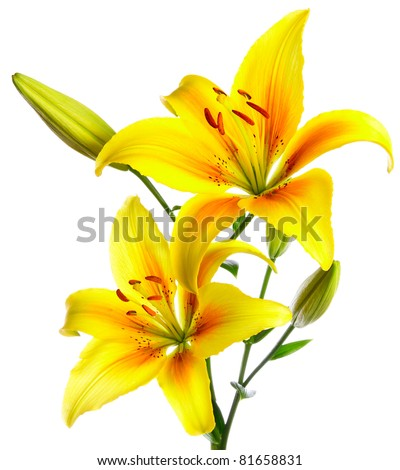 Beautiful lilies on a white background - stock photo