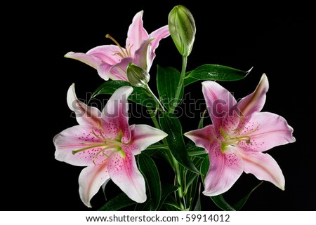 beautiful lilies on black background - stock photo
