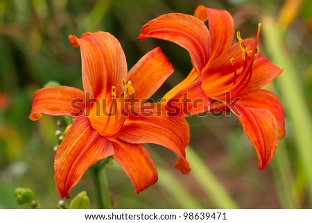 Beautiful Lilium on natural background - stock photo