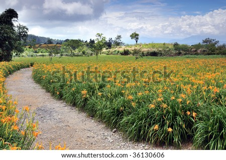 beautiful Lily field - stock photo
