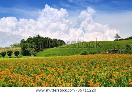beautiful Lily field with fantastic clouds in the background - stock photo