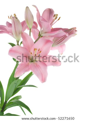 Beautiful Lily flower over white - stock photo