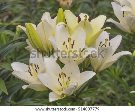 Beautiful lily flowers in the garden