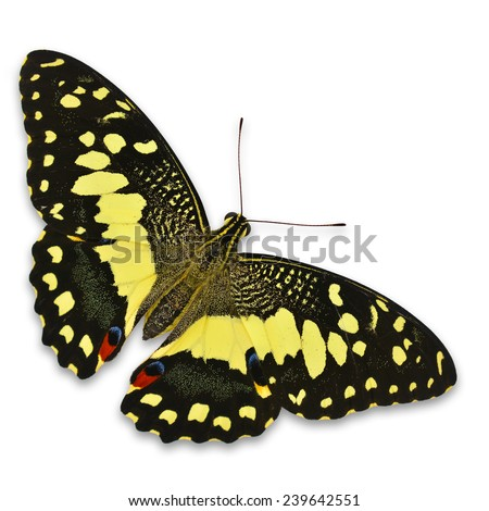Beautiful lime butterfly isolated on a white background - stock photo