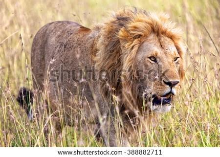 beautiful lion at the masai mara national park kenya  - stock photo