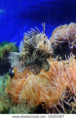 Beautiful Lion fish in an aquarium of at Monte Carlo, Monaco. - stock photo
