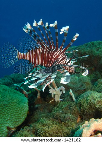 Beautiful Lion fish over Coral Reef - stock photo