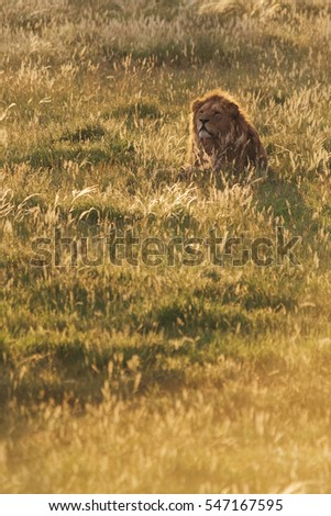 Beautiful Lion in sunset rays hunting in African National Park