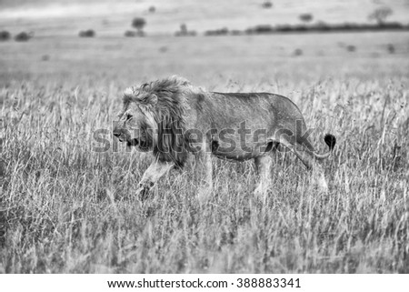 beautiful lion in the bush at the masai mara national park kenya (black and white) - stock photo