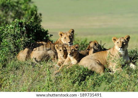 Beautiful Lion in the grass of Masai Mara, Kenya - stock photo