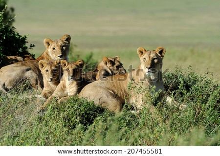 Beautiful Lion in the grass of Masai Mara, Kenya - stock photo