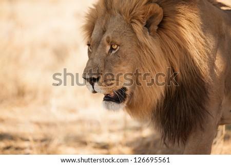 beautiful lion walking close up by Okavango Delta, Botswana - stock photo