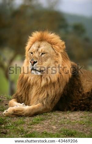 Beautiful Lion wild male animal portrait king of jungle - stock photo