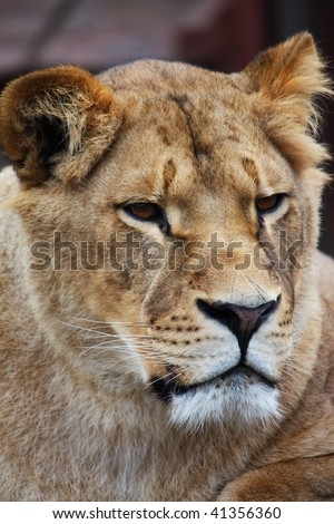 Beautiful lioness portrait