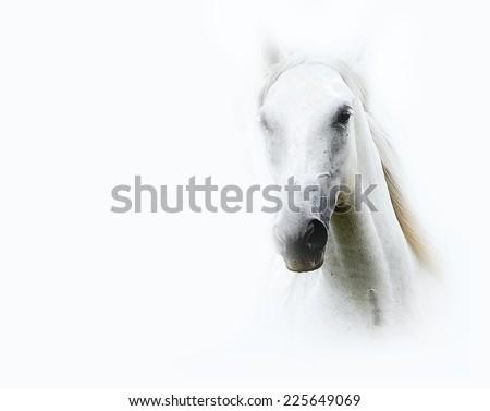 beautiful lipizzaner in white background - stock photo