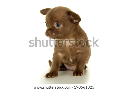 Beautiful little brown chihuahua puppy sitting isolated - stock photo