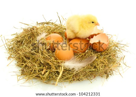 beautiful little chicken, eggs and eggshell in nest, isolated on the white - stock photo