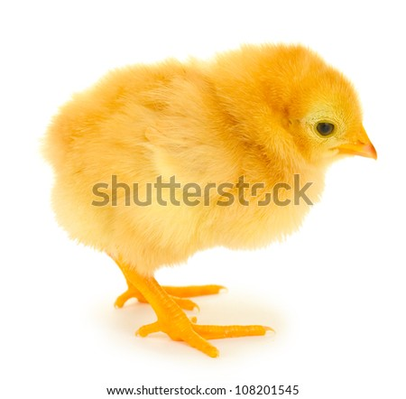 beautiful little chicken isolated on the white - stock photo