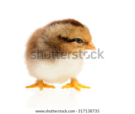 Beautiful little chicken, isolated on white background - stock photo