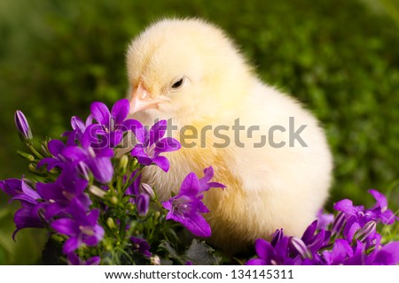 Beautiful little chicken with flowers - stock photo