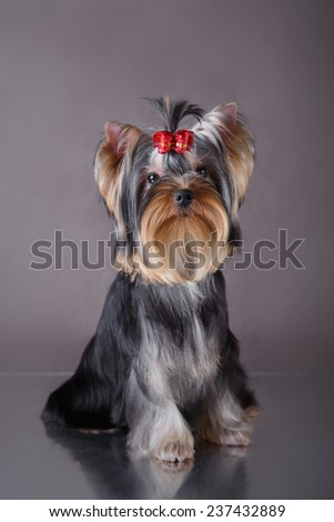 beautiful little dog on a gray background - stock photo