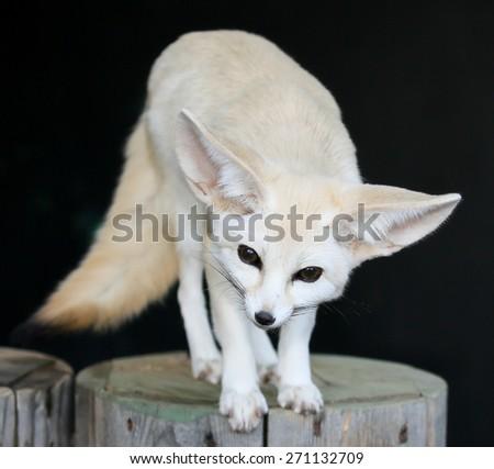 Beautiful little fennic desert fox with very large ears - stock photo