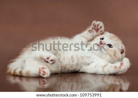 beautiful  little kitten,  breed scottish-fold,   lie on brown  background  ,stare look up