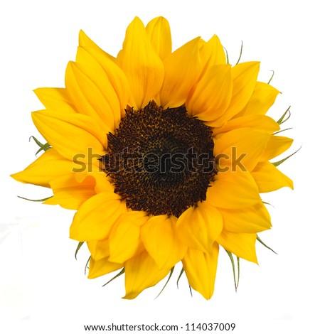 Beautiful little sunflower on white background - stock photo