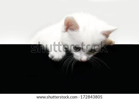 beautiful little white kitten on a white & black background - stock photo