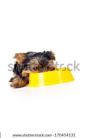 beautiful little Yorkshire terrier eats - stock photo