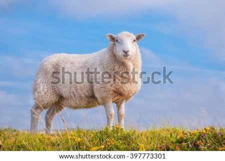 Beautiful Lone Sheep in the countryside.