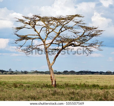 Beautiful lonely tree in Serengeti National Park - Tanzania - stock photo