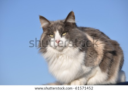 Beautiful long haired diluted calico cat against blue skies on a cold winter day - stock photo