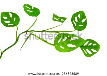 beautiful  long young green monstera (var. expilata) branch isolated on white background - stock photo