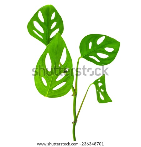 beautiful  long young green monstera (var. expilata) branch isolated on white background, closeup - stock photo
