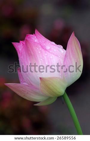 beautiful Lotus (15) - stock photo