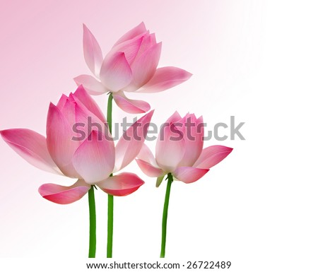 Beautiful Lotus - stock photo