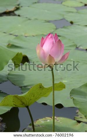 Beautiful Lotus blooming in swamp - stock photo