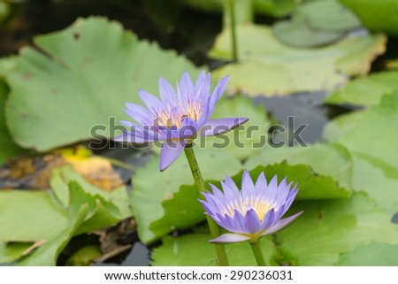 Beautiful lotus blossom Purple lotus bud above the water