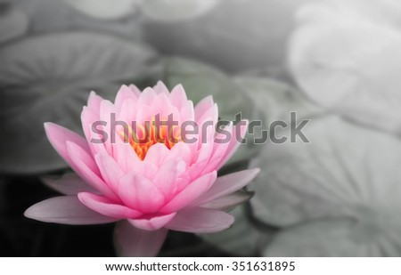beautiful lotus flower
