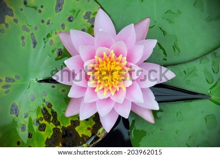 Beautiful Lotus Flower in a River
