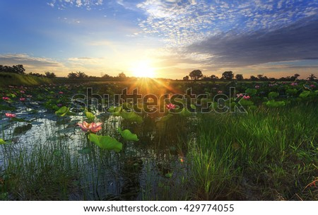 Beautiful lotus flower in blooming at sunrise. Selective focus, shallow depth of field and flare. - stock photo