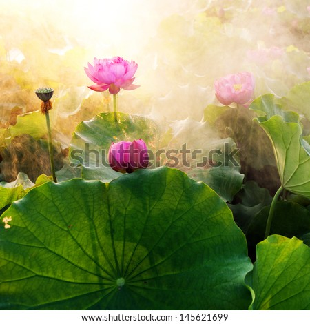 beautiful lotus flower in blooming at sunset  - stock photo